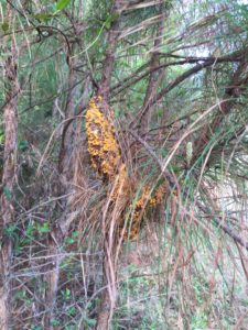 Pine Tree with fusiform rust