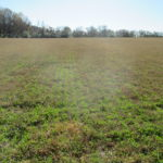 Alfalfa Interseeded into Bermudagrass