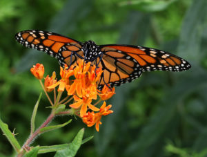 Monarch nectaring on butterfly milkweed.
