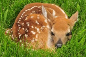 Deer Fawn bedding in grass